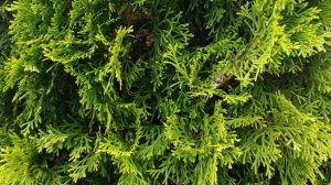 American arborvitae low maintenance tree for your Marietta Ga yard