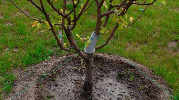 Planted apple tree sapling in Marietta Ga