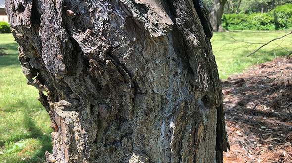 Hypoxylon canker disease on tree trunk