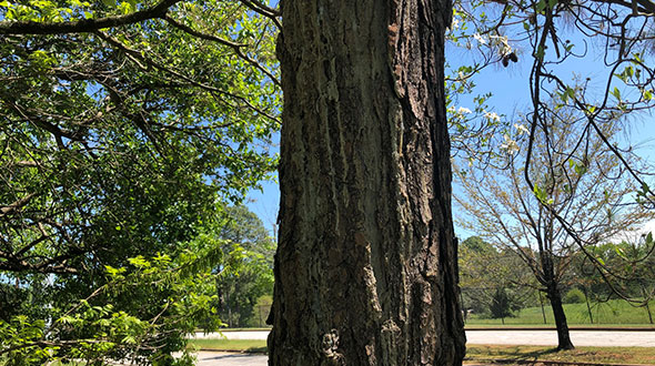 Hypoxylon canker disease damaging tree bark