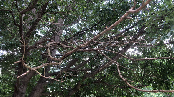 Carpenter ant infested tree with branch dieback