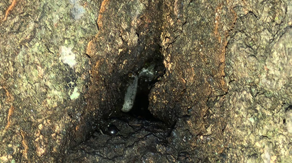 Diseased and decaying tree with carpenter ant colony infestation