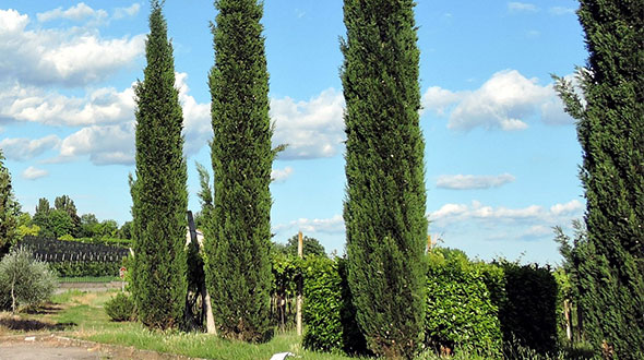 Pruning evergreen tree species after new growth or in mid summer