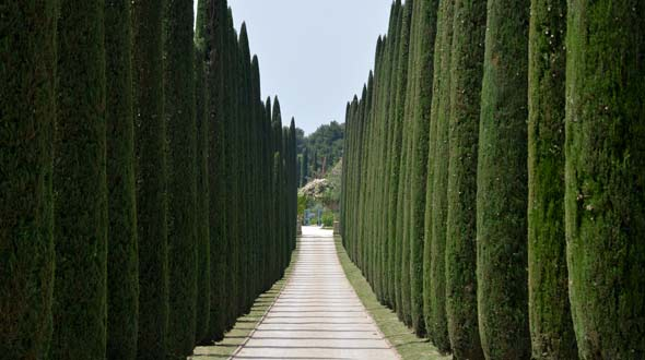 Evergreen cypress trees for shade and privacy