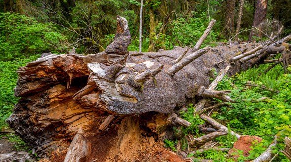 Dead fallen decaying tree in landscape