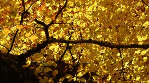 Healthy deciduous tree with fall colored foliage