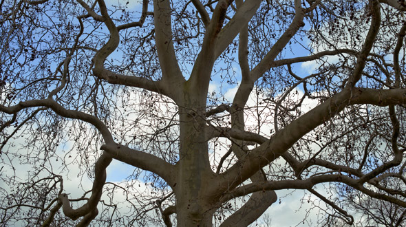 Dormant deciduous tree with no leaves