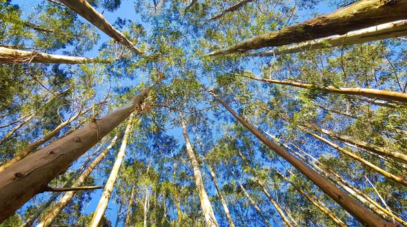 Evergreen eucalyptus trees for shade and privacy