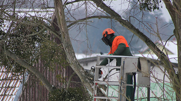 Fall pruning to remove storm damage and dangerous growth