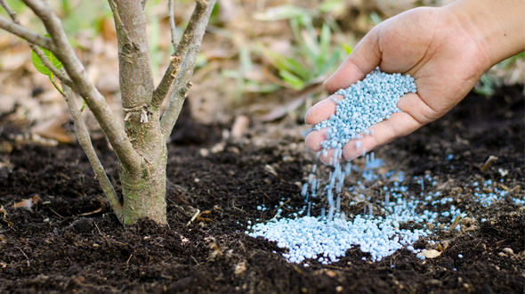 arborist spreading soil fertilizer to tree roots for spring
