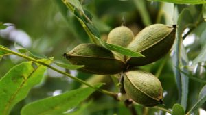 Hickory and pecan trees grow in the same hardiness zone and require equal care