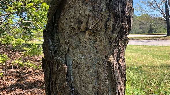 Hypoxylon canker disease damaging tree trunk bark