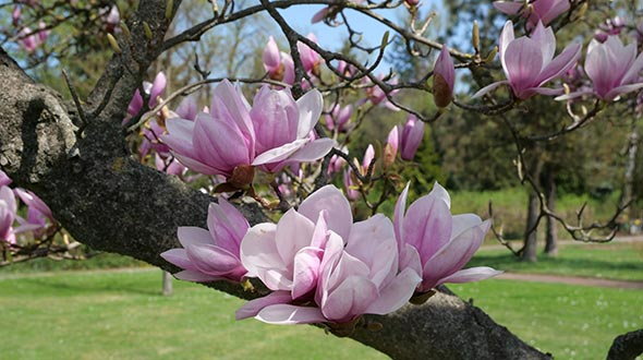 Pruning flowering tree species when flowers fade or in winter