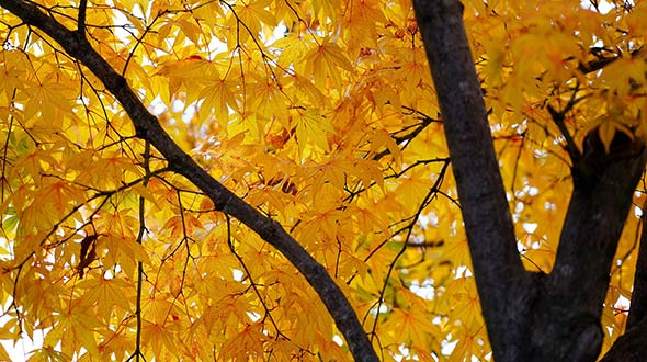 Maple tree in autumn with foliage changing color