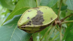 Phylloxera damages can appear as dieback chlorosis fruit damage and allow secondary infestations