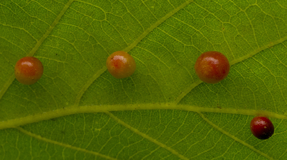 Phylloxera galls appear on leaves from insect feeding activities