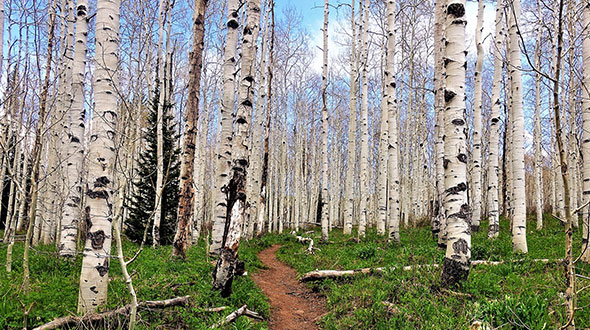 Cladoptosis or self pruning trees aspens shed branches leaving black spots resembling eyes
