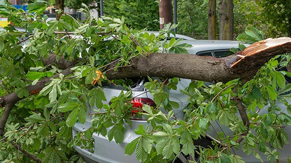 Cladoptosis or self pruning trees can cause the sudden drop of limbs on structures and vehicles