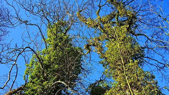 Cladoptosis or self pruning trees can suffer stress from climbing vines that create conditions for a tree to shed limbs