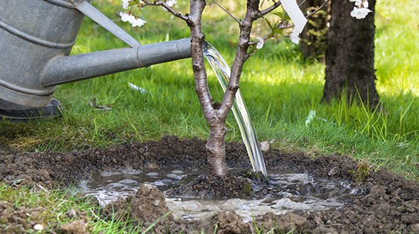Tree transplanting requires deep watering after the roots are pruned and it is replanted