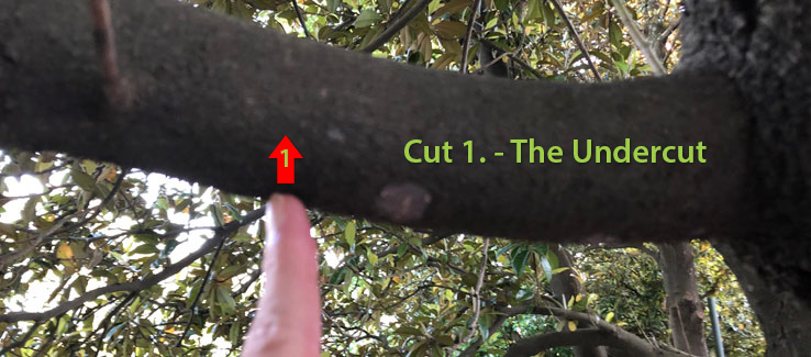 Tree pruning the undercut keeps bark from tearing if th branch slips out of your control