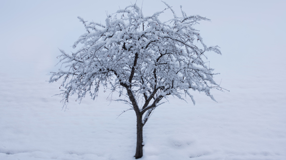 Dormant deciduous tree covered in ice and snow