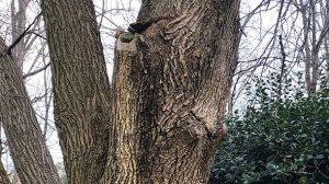 Cankers are a tree defect that can lead to infection rot and death of the host
