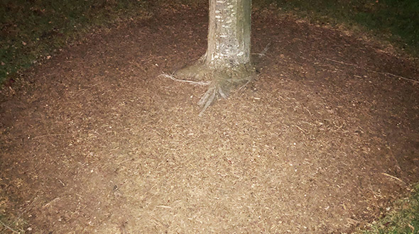 Tree roots can be protected from temperature swings and from compaction when they are mulched with organic material
