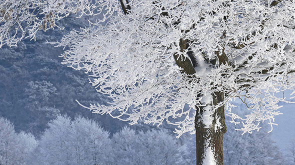 Protect trees from winter injury including dried out foliage broken limbs and branches or sunscald