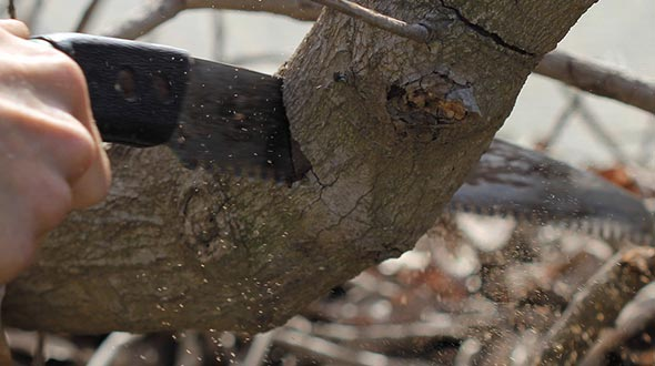 Tree pruning cut with a handsaw