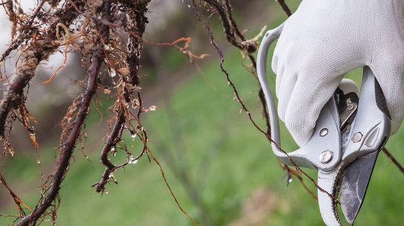 Tree root pruning to encourage feeder root growth