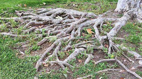 Half of a tree dying from damaged and diseased surface roots