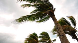 Palm trees in strong wind and severe weather