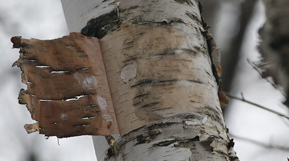 Winter tree bark injury from sunscald