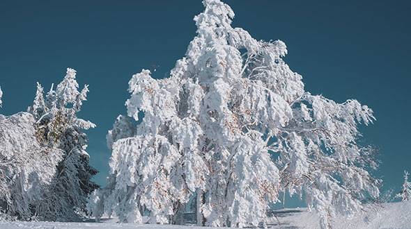 Winter protection for snow and ice covered trees
